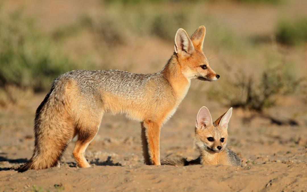 CAMAFOX. Cama Fox? Ein Fuchs, und das mitten in Wien?